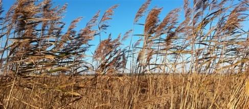 Reeds! Pevensey levels